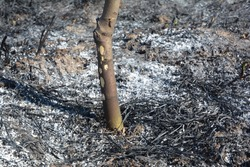 Grass burning damage on the fruit tree. Burning grass releases more nitrogen pollution than burning wood.