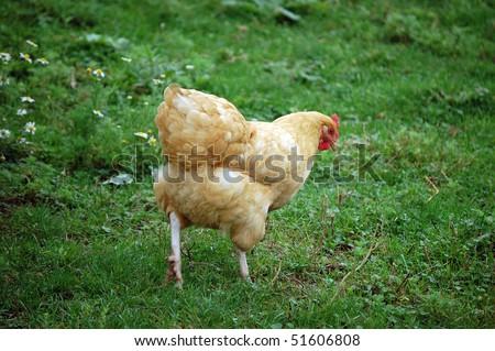 grass , chicken bird farm animals