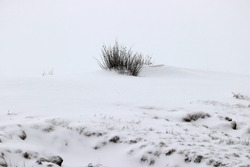 Grass clump in the snow in Dwingelderveld, The Netherlands