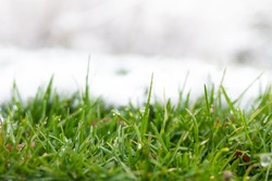 Grass covered with snow. White snow and green grass background. Grass on a meadow covered with snow.