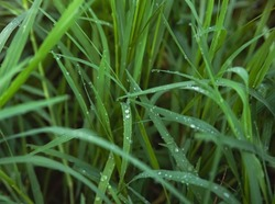Grass field,waterdrops plenty on blurred green leaves,morning time,blurry light around