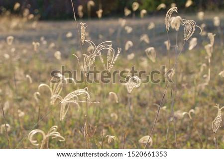 grass field with full of seeds , golden sunlight of summer day closeup shot