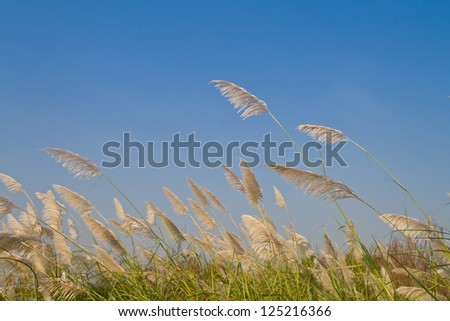 Grass flower blown by the wind, Reed flower