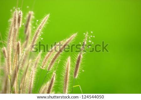 grass flower on green background