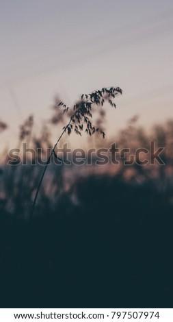 Grass flowers and evening sun #797507974