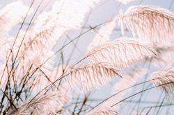 Grass flowers field, White grass in nature with sunlight. Landscape of winter meadow grassland. A colorful flower grass flower and morning sunrise light. Summer flowers meadow with vintage style.