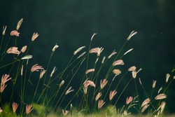 Grass flowers in the evening on field or lawn texture and background, vintage and pastel tone, Beautiful flowers on field and on natural or sunshine background, Dark green background