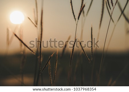 grass flowers with sunset background. #1037968354
