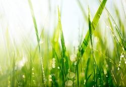 Grass. Fresh green grass with dew drops closeup. Sun. Soft Focus. Abstract Nature Background
