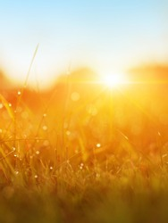 Grass. Fresh Green Spring Grass With Dew Drops Closeup. Sun. Soft Focus. Abstract Nature Background. Rice Plant At Sunset