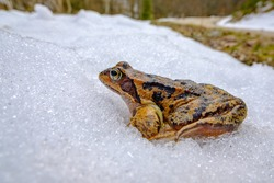 grass frog (rana temporaria) on the way to a lake in early spring