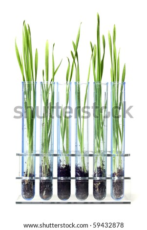 Grass growing in test tubes
