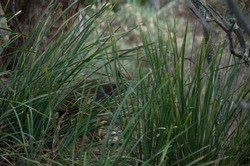 Grass hidiing a swamp wallaby blurred in the background