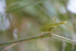 grass hopper locust grasshopper mantis