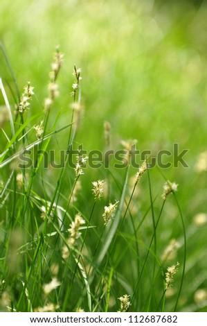 Grass in summer meadows