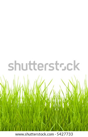 grass isolated on a white background for a copy-space