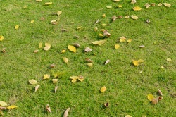 Grass lawn with fallen leaves