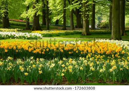 grass lawn with yellow daffodils in dutch garden Keukenhof Holland