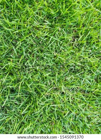 grass, manila grass, temple grass #1545091370