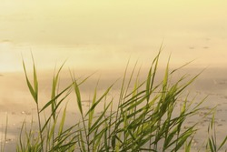 Grass of reed against the background of water, colored by the yellow rays of dawn. Natural tranquil background.