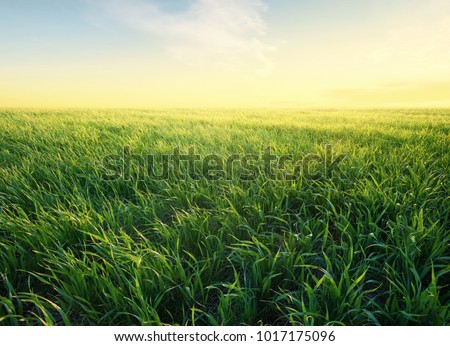 Grass on the field during sunrise. Agricultural landscape in the summer time - Shutterstock ID 1017175096