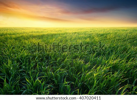 Grass on the field during sunrise. Agricultural landscape in the summer time #407020411