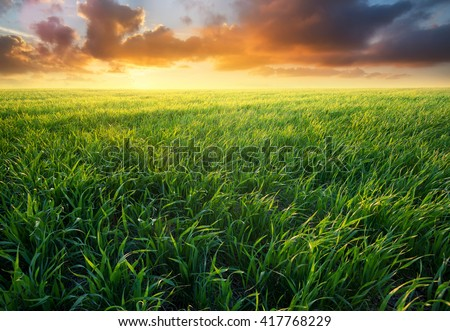Grass on the field during sunrise. Agricultural landscape in the summer time #417768229