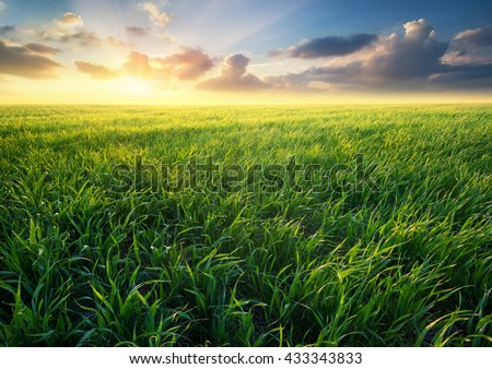 Grass on the field during sunrise. Agricultural landscape in the summer time - Shutterstock ID 433343833