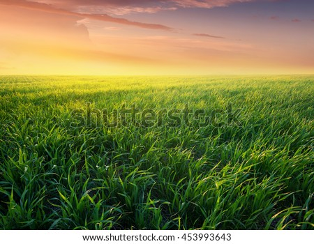 Grass on the field during sunrise. Agricultural landscape in the summer time #453993643