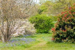 Grass path between flowering bluebells, red rhododendron, white azalea in spring garden, in English countryside .