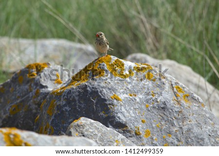 Grass pipit with food in its mouth stands on boulder of dyke reinforcement on the Wadden Sea near the port of Schiermonnikoog, the Netherlands