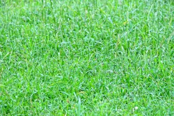 Grass plant at the football field for background texture and green natural foliage