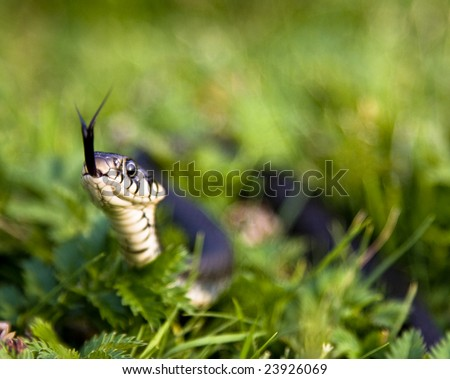 grass-snake hissing in the grass - stock photo