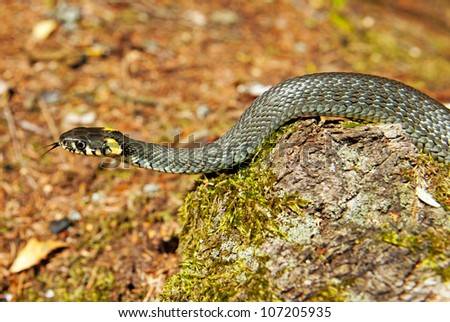 Grass snake in forest background. Natrix natrix