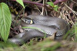 grass snake in forest environment closeup
