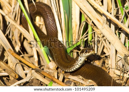 grass snake in swamp environment closeup / Natrix natrix