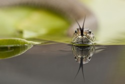 Grass snake moving across the surface of a lilly pad on a small pond