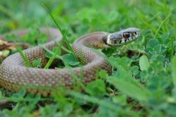 Grass Snake (Natrix natrix) head raising defensiveness