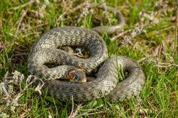 Grass snake (Natrix natrix) lying on the grass