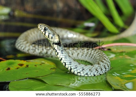 Grass snake (Natrix natrix) on pond with water lily leaf. Ringed snake. Water snake. Snake. Reptile. Reptilian. #555886273