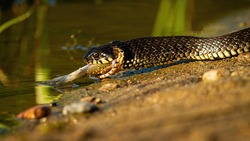 Grass snake, natrix natrix, with prey crawling on sand in summer nature. Wild black creature enters to the water with dead fish. Reptile eating on riverbank.