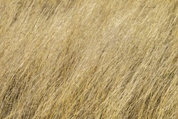 Grass Texture Background Dry long grass texture background