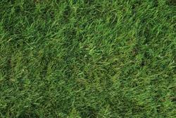 Grass texture from England. Close up of grass texture showing blades of grass in England.