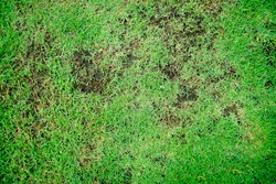 Grass texture. grass background. patchy grass, lawn in bad condition and need maintaining, Pests and disease cause amount of damage to green lawns, lawn in bad condition and need maintaining