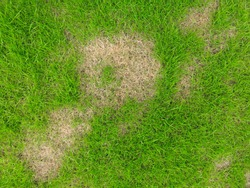 Grass texture. grass background. patchy grass, lawn in bad condition and need maintaining, Pests and disease cause amount of damage to green lawns, lawn in bad condition and need maintaining.