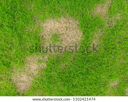 Grass texture. grass background. patchy grass, lawn in bad condition and need maintaining, Pests and disease cause amount of damage to green lawns, lawn in bad condition and need maintaining. #1102421474
