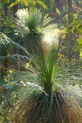 Grass trees in bushland reserve south of Dwellingup, Western Australia.