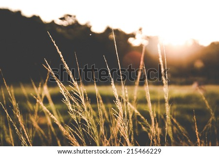 Grass when sunset with retro/vintage filter