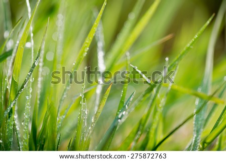 grass with drops of water, shallow depth of field
