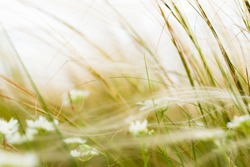 Grass with White Flower in Windy Weather. Stipa or Feather Grass Blurred Background.